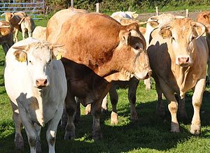 Kuhherde auf der Weide grosses Foto