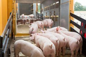 Schweine auf der Verladerampe