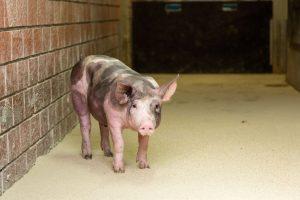 Portrait vom Schwein