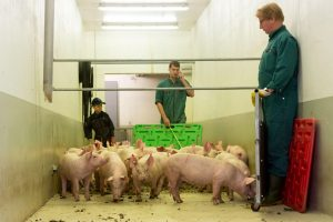 Schweine im Gang