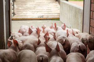 Schweine auf dem Weg in den LKW