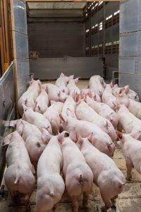Schweine bei der Verladung