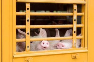 Schweine auf Viehwagen