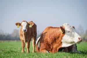 Kuh mit Kalb auf der Wiese