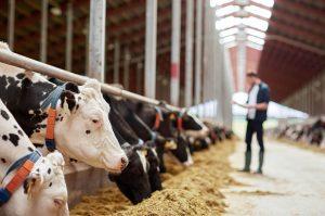 Rinder im Stall