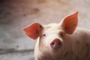 Portrait eines Schweins