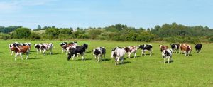 Kuhherde auf der Weide
