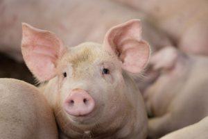 Schweindportrait