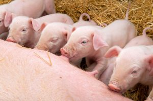 Schweine beim Säugen