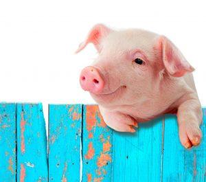 Schwein überm Zaun Portrait