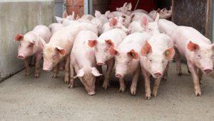 Schweineverladung
