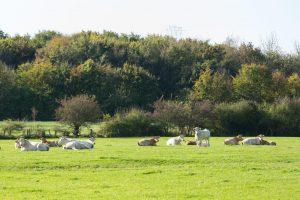 Rinder auf grüner Wiese